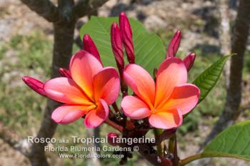 Roscoe Plumeria aka Tropical Tangerine, Sunburst Glory