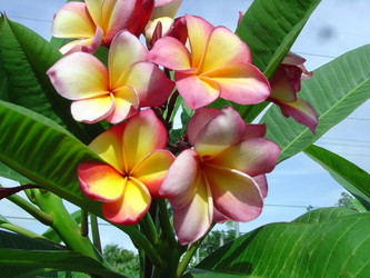 Gold Coast Cotton Candy (rooted) Plumeria