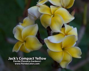 Jack's Compact Yellow JJ Plumeria