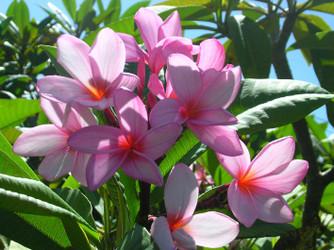 Lilac Mist (rooted) Plumeria