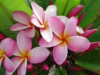 Marion B FCN (rooted) Plumeria