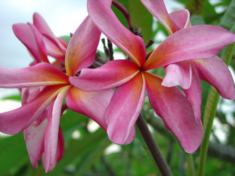California Sally Plumeria