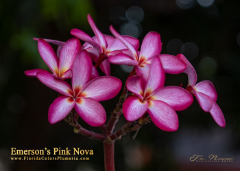 Emerson's Pink Nova (rooted) Plumeria