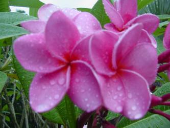 Islamorada FCN (rooted)  Plumeria