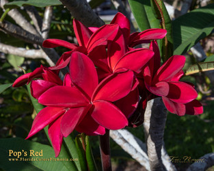 Pops Red(grafted with roots)Plumeria