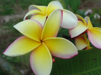 Gladys O'Neal FCN (rooted) Plumeria