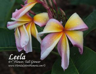 Leela (rooted) aka Starburst Rainbow Plumeria