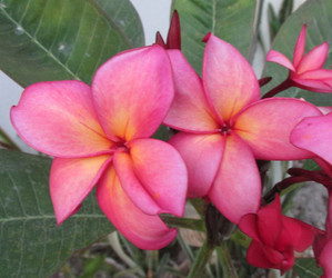 Lake's Passion Plumeria