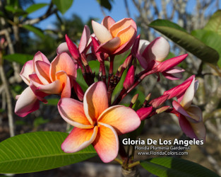 Gloria de Los Angeles FCN (rooted) Plumeria