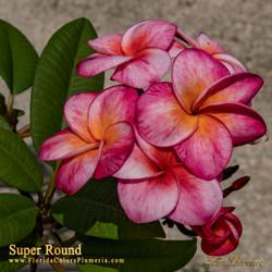 Super Round JJ (rooted) aka J115, Sangwan Tabtim Plumeria