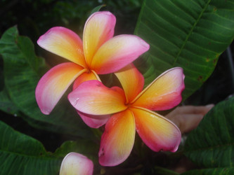 Mango Magic (rooted)  Plumeria