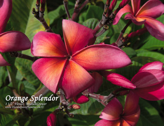 Orange Splendor Plumeria