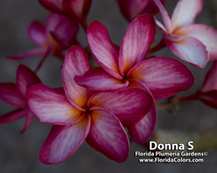 Donna S FCN (rooted) Plumeria
