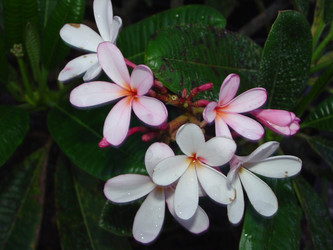 Dwarf Singapore Pink (rooted)  Plumeria