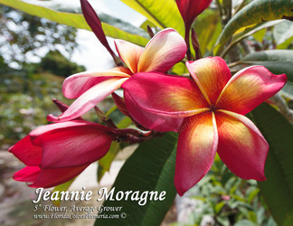 Jeannie Moragne (grafted with roots)  aka Jean Moragne Jr. Plumeria