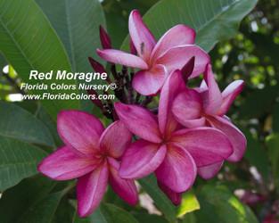 Red Moragne (rooted) aka Moragne 93 Plumeria