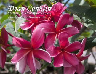 Dean Conklin (rooted)  Plumeria