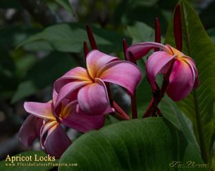 Apricot Locks Plumeria