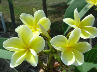 Bowen Yellow (rooted) Plumeria