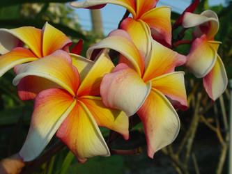 Hawaiian Flag JL (rooted) Plumeria