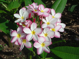 Lilly Warmtoes Plumeria