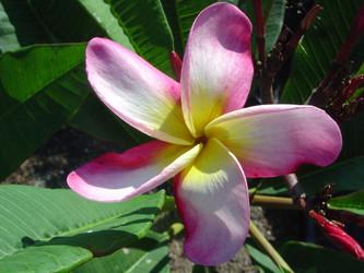 Chompoo Jack (rooted)  aka Delicato Plumeria
