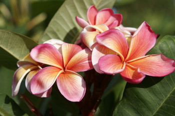 Fruit Salad Daryl (rooted) Plumeria