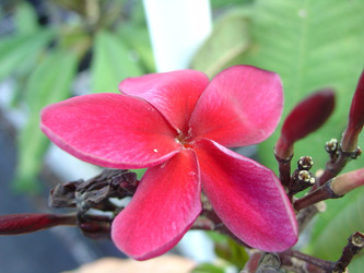 Hong Red (rooted) Plumeria