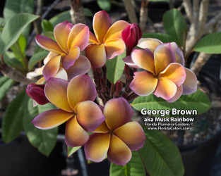 Musk Rainbow (grafted with roots) aka George Brown Plumeria