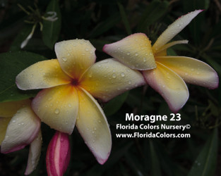 Moragne 23 (rooted) Plumeria