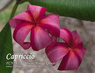 Capriccio FCN (rooted)  Plumeria