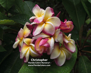 Christopher FCN  (grafted)  Plumeria