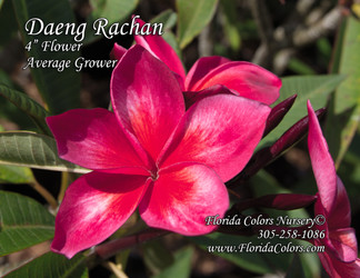 Daeng Rachen (grafted with roots)  Plumeria