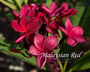 Malaysian Red Plumeria
