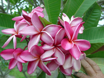 Michelle Gervais FCN (rooted) Plumeria