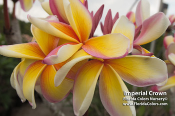 Imperial Crown (rooted) Plumeria
