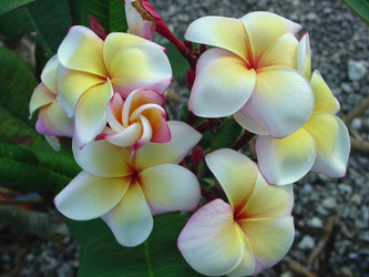 Paul Newman FCN (grafted with roots)  Plumeria
