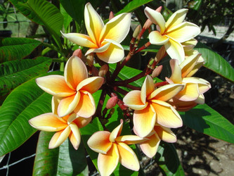 Paul Weissich (grafted with roots) Plumeria