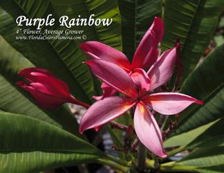 Purple Rainbow (rooted) Plumeria