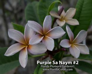 Purple Sa Neym (rooted)  aka Siam Lavender Plumeria