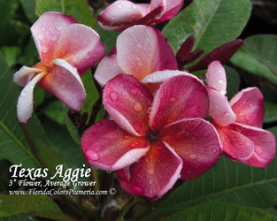 Texas Aggie (Rooted)  Plumeria