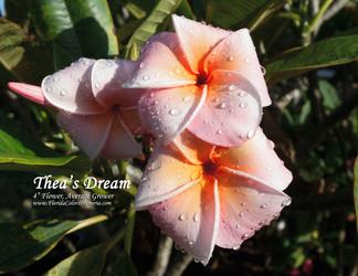 Thea's Dream FCN (rooted) Plumeria