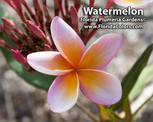 Watermelon (rooted) Plumeria