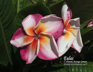 Eulas FCN (grafted with roots) Plumeria