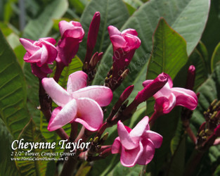 Cheyenne Taylor  (grafted with roots) Plumeria