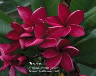 Bruce FCN (grafted with roots) Plumeria