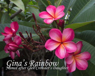Gina's Rainbow FCN  (rooted) Plumeria