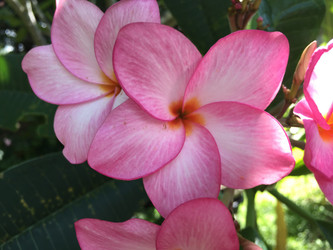 Fredericka FCN (rooted)  Plumeria