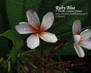 Ruby Blue (grafted with roots) Plumeria