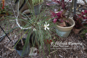 P. filifolia (grafted with roots) Plumeria